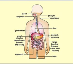 How much time it takes to digest food in stomach